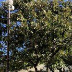 栗の木バナー